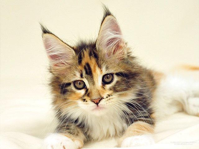Первые дни котёнка мейн кун у Вас дома