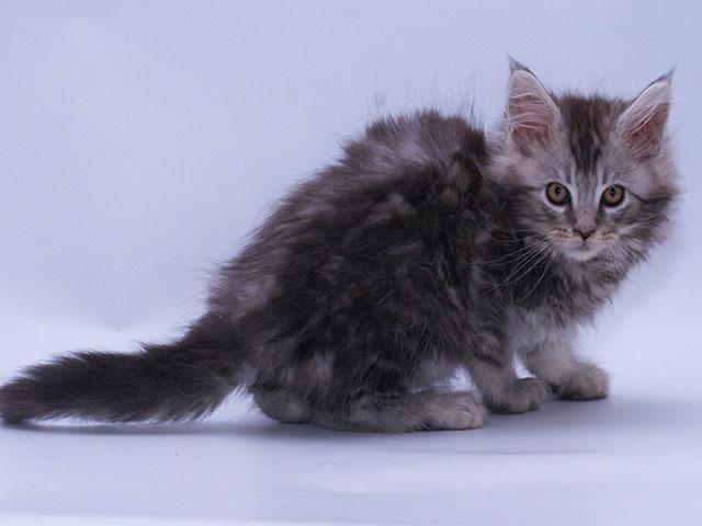 Чем кормить котёнка мейн куна? Рекомендации заводчиков