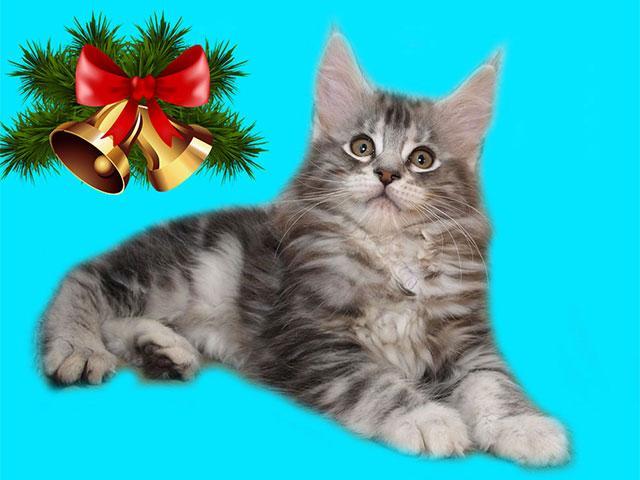 Как приобрести котёнка мейн кун недорого?