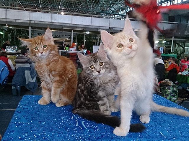 котята-мейкун