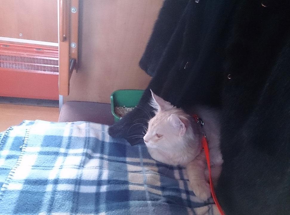 доставка котят мейн кун