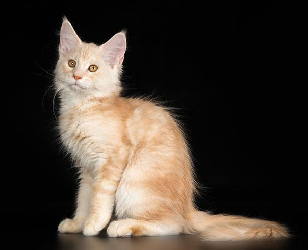 Котята мейн кун помёт 2015