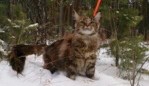 прогулка с мейн куном по зимнему лесу