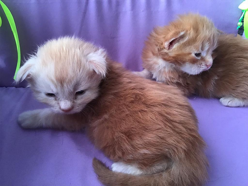 купить котенка мейн кун в Екатеринбурге