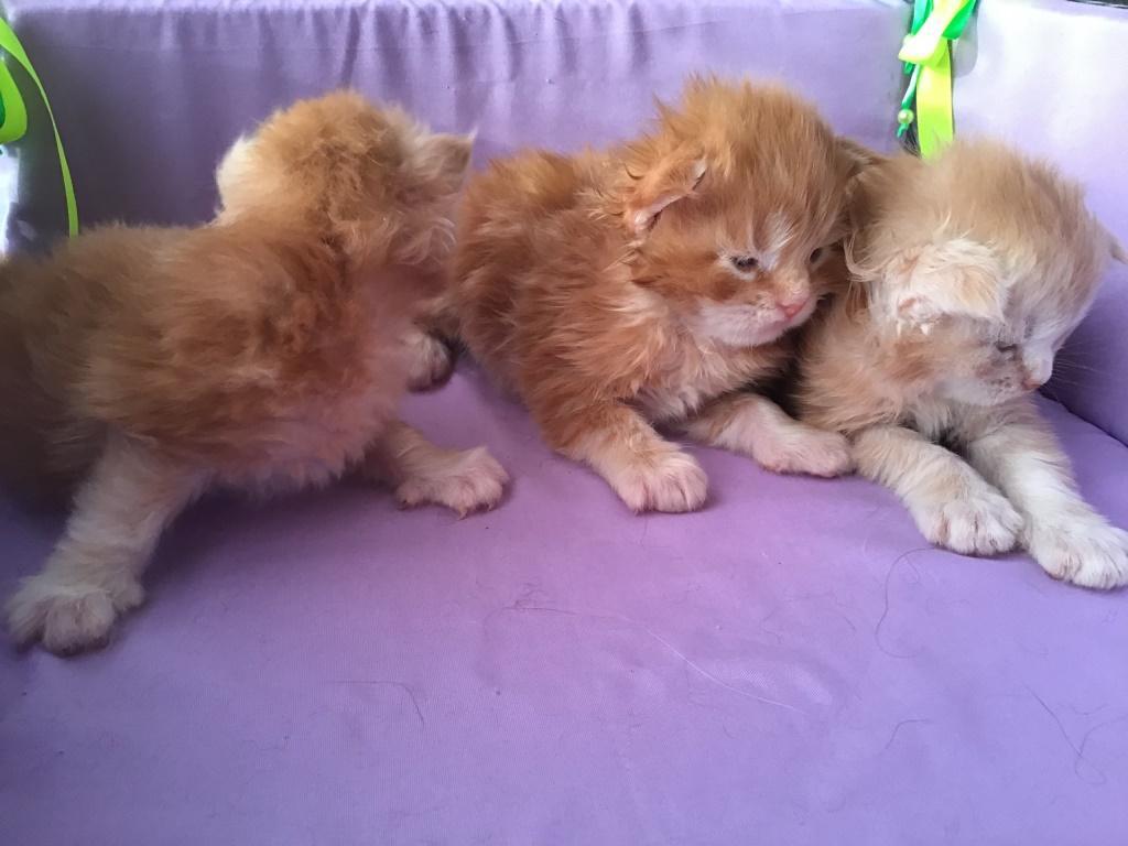 купить-котенка-мейнкун-в-екатеринбурге